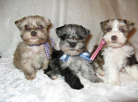 Teacup schnauzer for sale australia