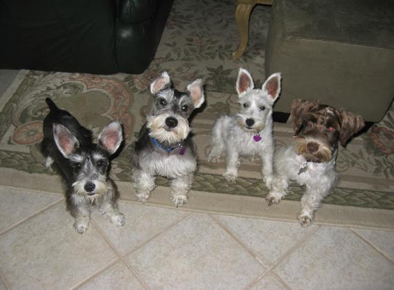 Mini schnauzer breeders in texas