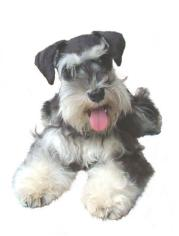 Dream Makers Puppies Toy Miniature Schnauzers Happy Customers